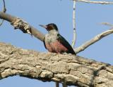 Lewiss Woodpecker-2.jpg