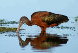 Glossy Ibis feeding