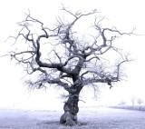 Ellesmere Road Tree