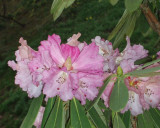 Chatsworth - rhododendron