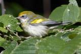 Golden winged- Warbler