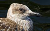 Medelhavstrut-Yellow-legged Gull(Larus michahellis)
