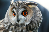 Hornuggla - Long-eared Owl(Asio otus)