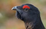 Rackelhane-Capercaille X Black Grouse (Tetrao urogallus X Tetrao tetrix)