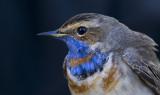 Blåhake-Bluethroat (Luscinia svecica)