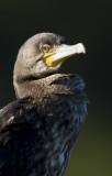 Storskarv-Cormorant (Phalacrocorax carbo)