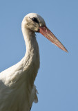 Vit stork-White Stork (Ciconia ciconia)