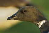 Prutgås - Brent goose (Branta bernicla)