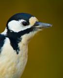 Större hackspett - Greater spotted woodpecker (Dendrocopos major)