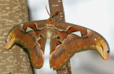 Atlas-Moth.jpg