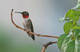 Hummingbird-Ruby-Throated2-.jpg