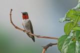 Hummingbird-Ruby-Throated-2.jpg