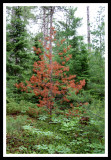 Red Pine in Sea of Green