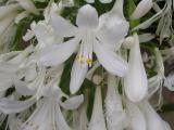Agapanthus africanus f. albus