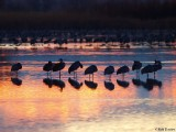 Sleeping Sandhill Cranes at Dawn