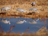 Sandhill Cranes at Bosque del Apache refuge