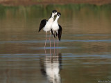Black necked stilts, post breeding pose
