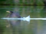 cormorant in motion