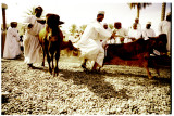 You Can Lead a Bull To Market, Oman 2008