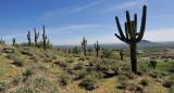 Beeline Hiway Cactus