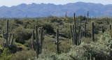 Cactus along the Bee Line Highway AZ