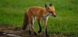 Earl Park IN - Red Fox