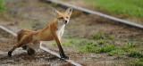 Leg Stretching Fox