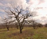 Apple Orchrad in Winter