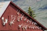 Elkhorns on the Barn