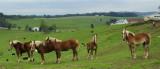 Amish Horses  Haflingers