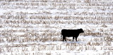 Black Cow Near Mondamin