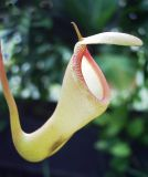 another pitcher plant