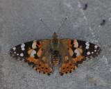 Fjäril (Bulgarien) (IMG_6606)