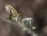 Scarce Swallowtail (Lesvos) (IMG_0654)