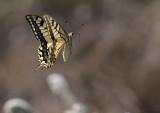 Scarce Swallowtail (Lesvos) (IMG_0655)