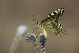 Scarce Swallowtail (Lesvos) (IMG_0669)