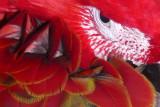 B22--Parrot at Divi Resort , St Maarten