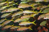 H31--Underwater St Maarten, Gregory site, yellow goatfish
