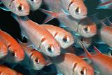 H38--Underwater St Maarten, The Bridge site, blackbar soldierfish
