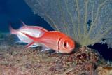 H39--Underwater St Maarten, The Bridge site, blackbar soldierfish