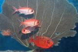 H41--Underwater St Maarten, The Bridge site, blackbar soldierfish and glasseye snapper