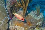 H44--Underwater St Maarten, Gregory site, squirrelfish