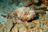 H49--Underwater St Maarten, Gregory site, scorpionfish