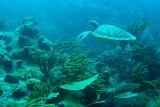 H61--Underwater St Maarten, Proselyte Reef,  turtle