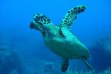 H63--Underwater Saba, Hot Springs Reef, turtle