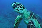 H64--Underwater Saba, Hot Springs Reef, turtle