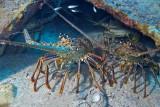 H65--Underwater St Maarten, The Bridge Wreck site, lobsters