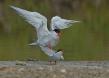 Common Tern.