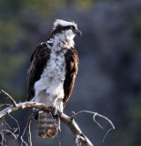 Windblown Osprey