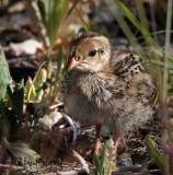 California Quail Chick